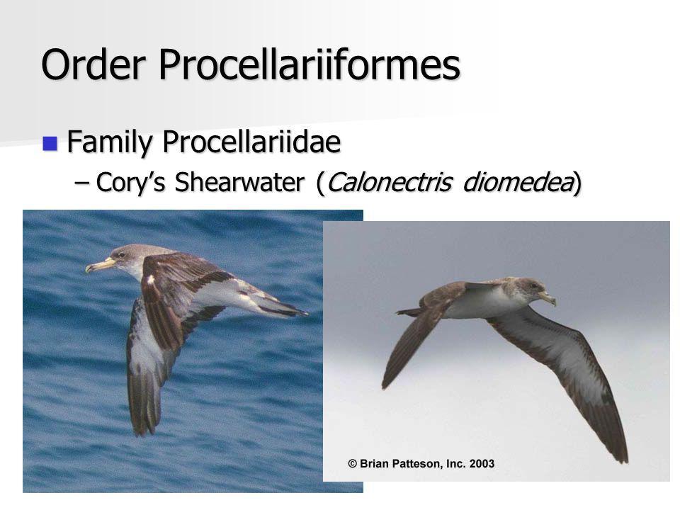 Order Procellariiformes Family Procellariidae Family Procellariidae –Corys Shearwater (Calonectris diomedea)