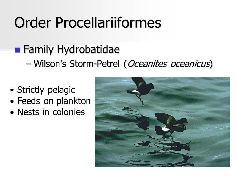 Order Procellariiformes Family Hydrobatidae Family Hydrobatidae –Wilsons Storm-Petrel (Oceanites oceanicus) Strictly pelagic Feeds on plankton Nests in colonies