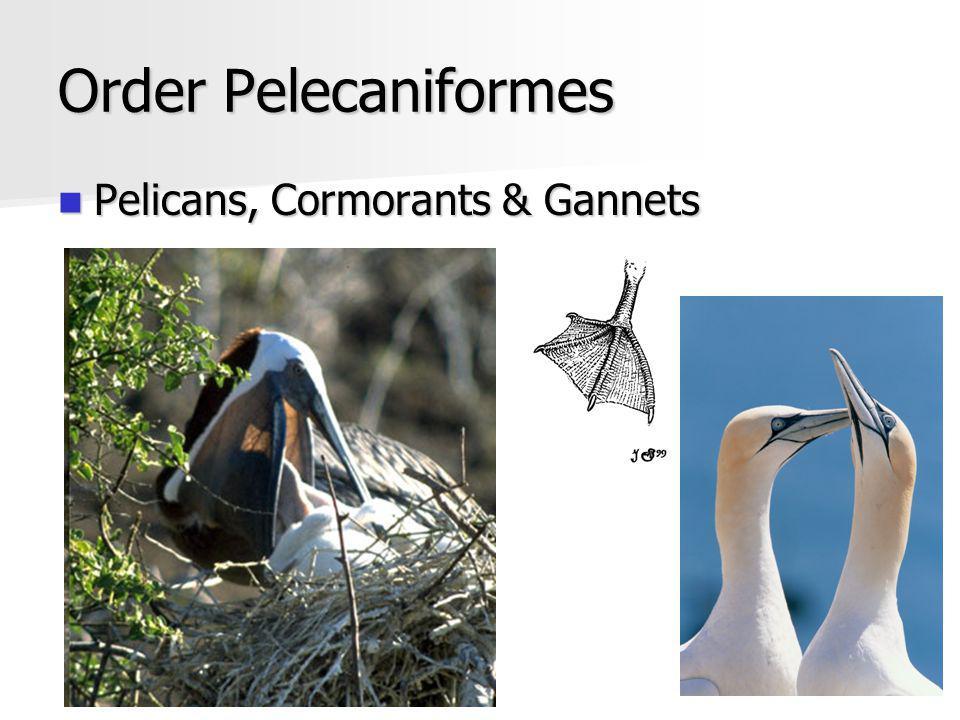 Order Pelecaniformes Pelicans, Cormorants & Gannets Pelicans, Cormorants & Gannets