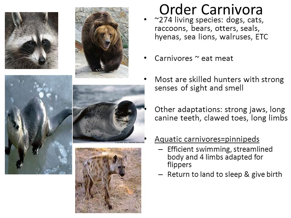 Order Carnivora ~274 living species: dogs, cats, raccoons, bears, otters, seals, hyenas, sea lions, walruses, ETC Carnivores ~ eat meat Most are skill