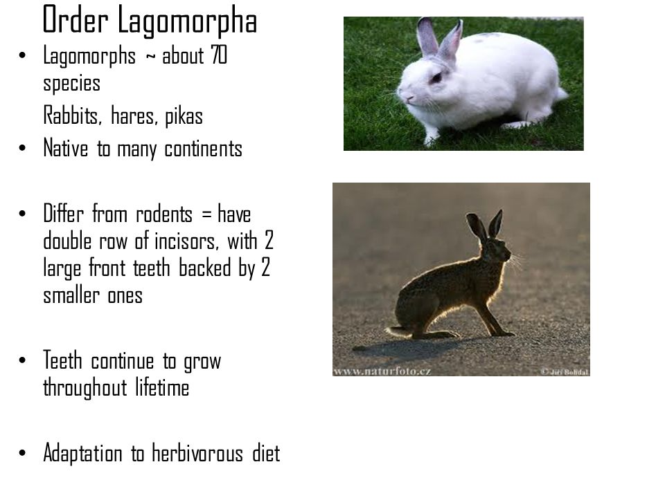 Order Lagomorpha Lagomorphs ~ about 70 species Rabbits, hares, pikas Native to many continents Differ from rodents = have double row of incisors, with