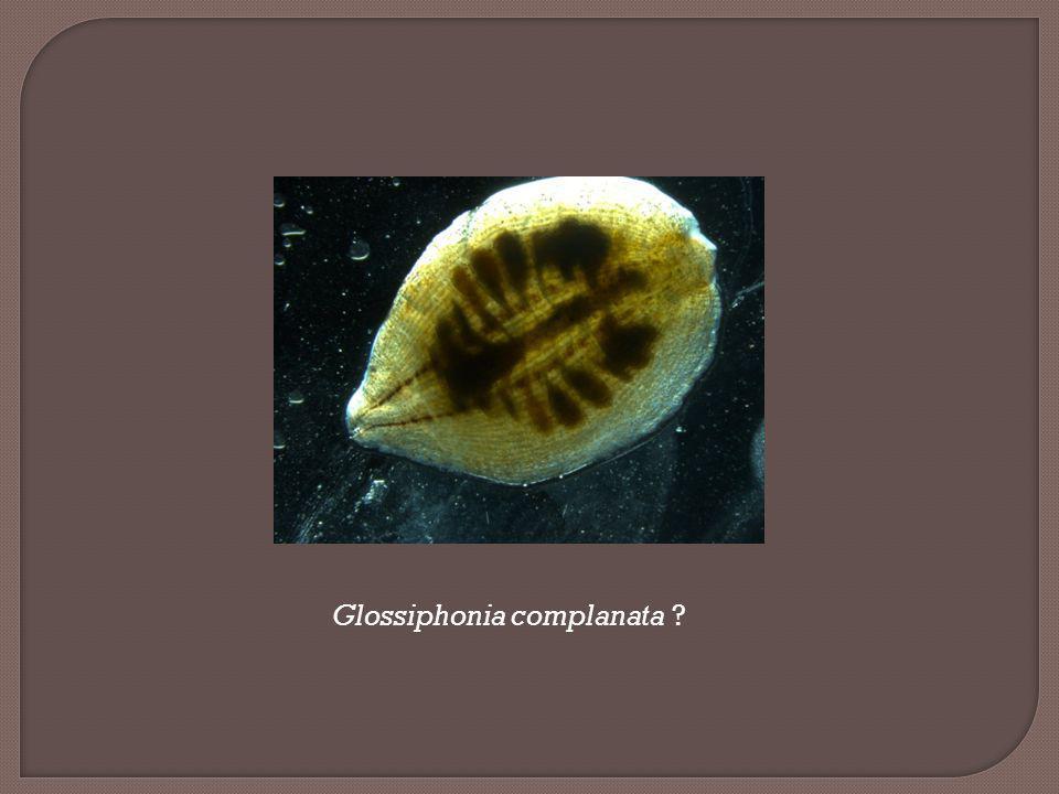 Glossiphonia complanata