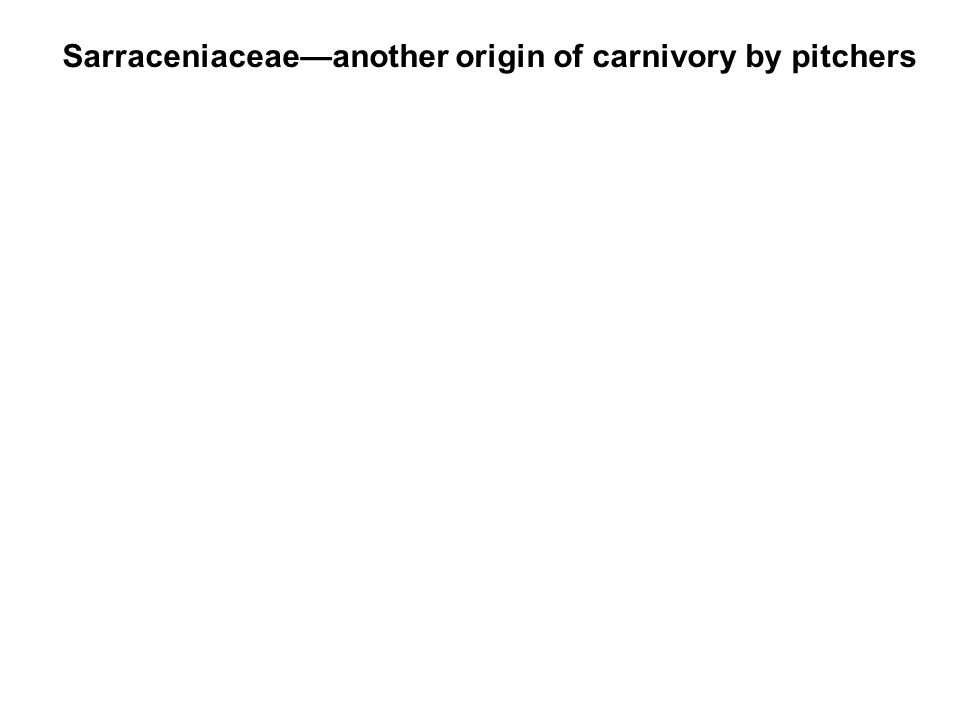 Sarraceniaceaeanother origin of carnivory by pitchers