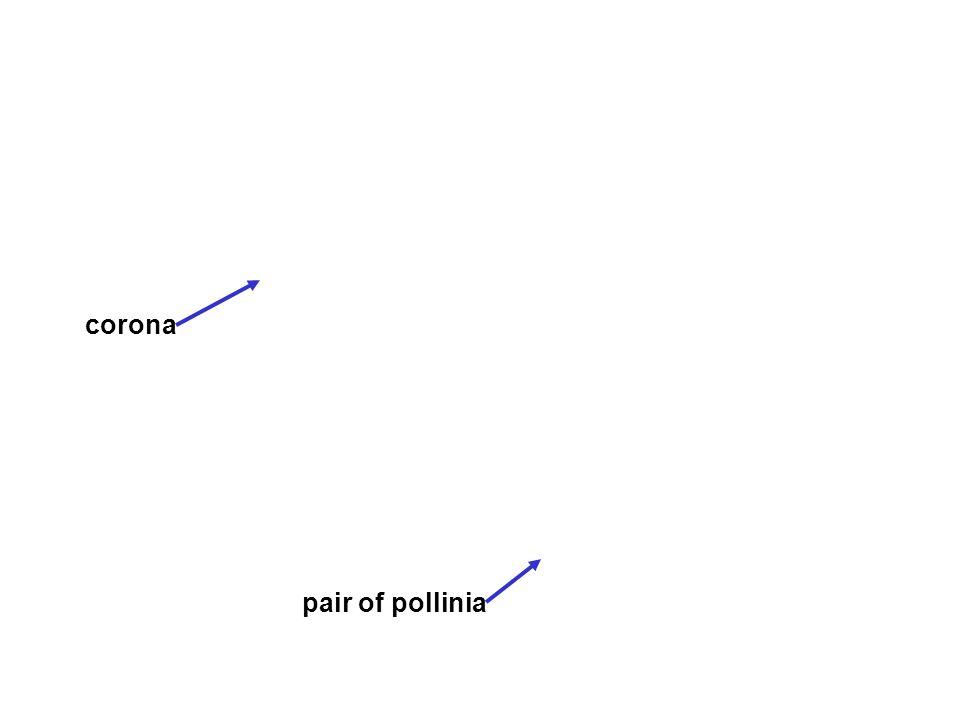 corona pair of pollinia