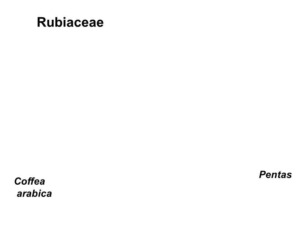 Rubiaceae Coffea arabica Pentas
