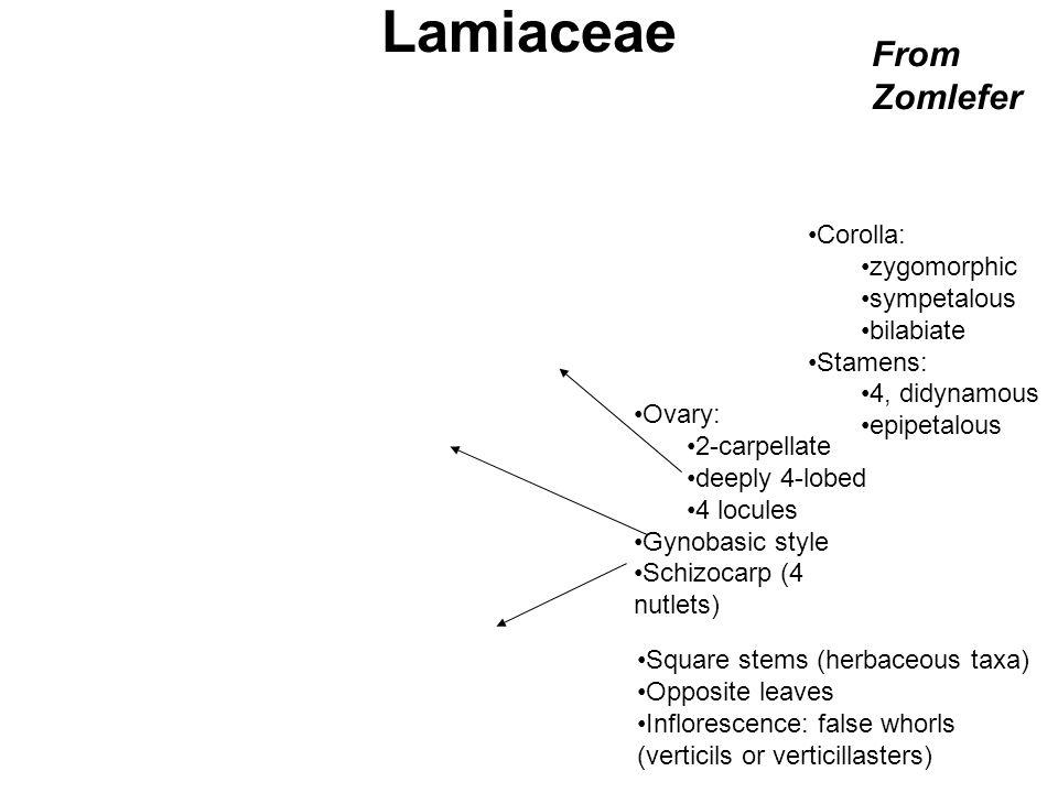 Lamiaceae Stachys floridana Ovary: 2-carpellate deeply 4-lobed 4 locules Gynobasic style Schizocarp (4 nutlets) Corolla: zygomorphic sympetalous bilab