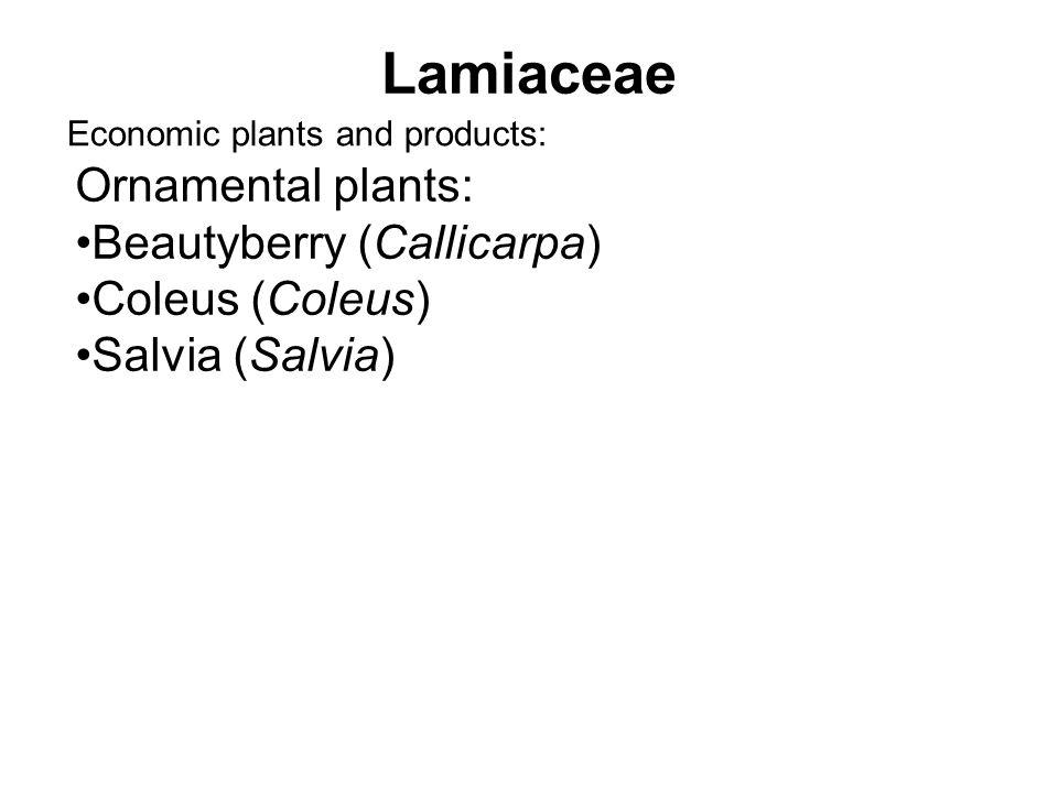 Lamiaceae Economic plants and products: Ornamental plants: Beautyberry (Callicarpa) Coleus (Coleus) Salvia (Salvia)