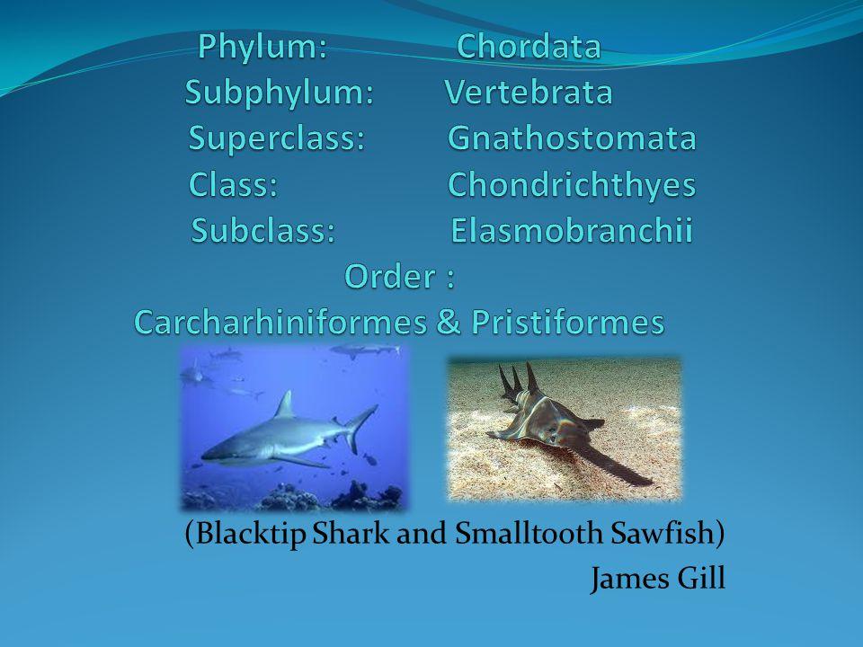 (Blacktip Shark and Smalltooth Sawfish) James Gill