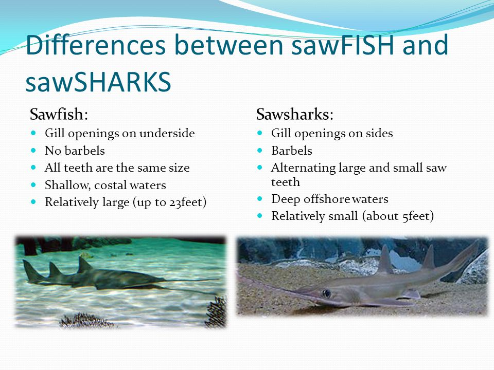 Differences between sawFISH and sawSHARKS Sawfish: Gill openings on underside No barbels All teeth are the same size Shallow, costal waters Relatively