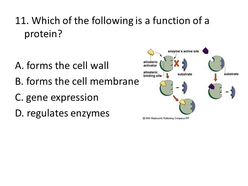 11. Which of the following is a function of a protein? A. forms the cell wall B. forms the cell membrane C. gene expression D. regulates enzymes