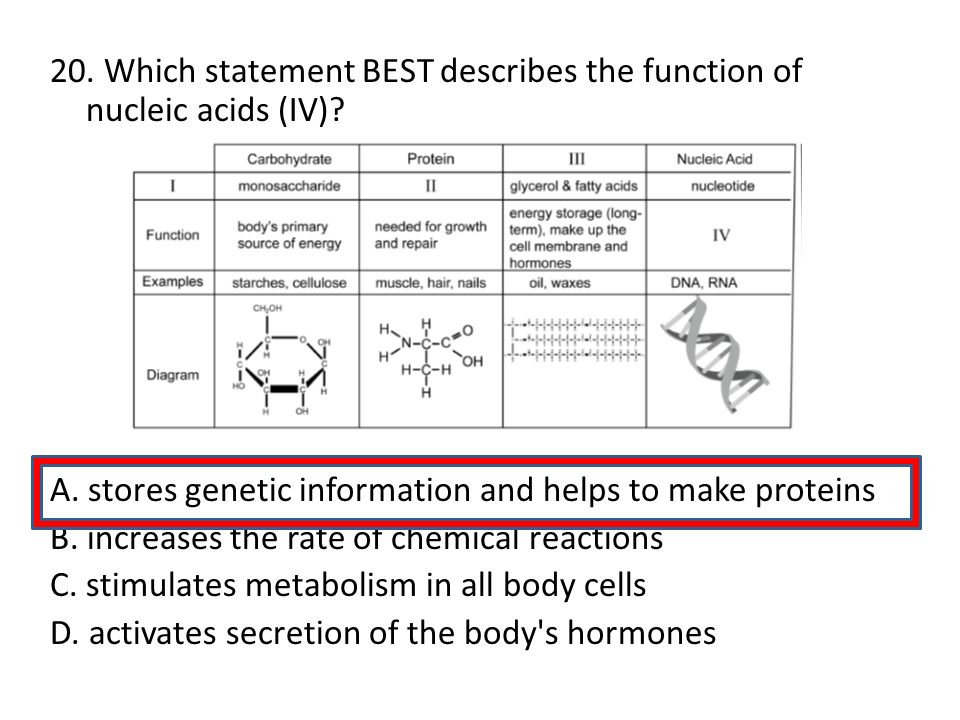20. Which statement BEST describes the function of nucleic acids (IV)? A. stores genetic information and helps to make proteins B. increases the rate