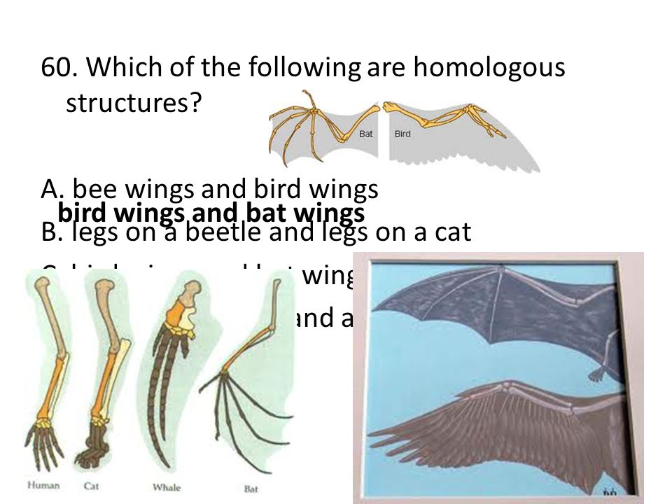 60. Which of the following are homologous structures? A. bee wings and bird wings B. legs on a beetle and legs on a cat C. bird wings and bat wings D.