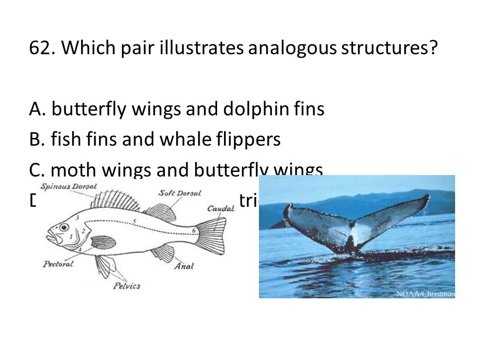62. Which pair illustrates analogous structures? A. butterfly wings and dolphin fins B. fish fins and whale flippers C. moth wings and butterfly wings