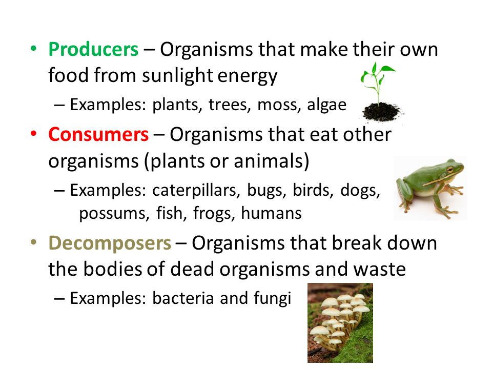 Producers – Organisms that make their own food from sunlight energy – Examples: plants, trees, moss, algae Consumers – Organisms that eat other organisms (plants or animals) – Examples: caterpillars, bugs, birds, dogs, possums, fish, frogs, humans Decomposers – Organisms that break down the bodies of dead organisms and waste – Examples: bacteria and fungi