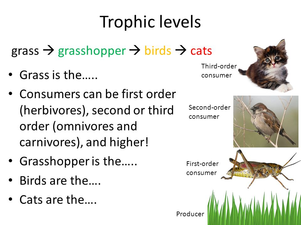 Grass is the….. Consumers can be first order (herbivores), second or third order (omnivores and carnivores), and higher! Grasshopper is the….. Birds a