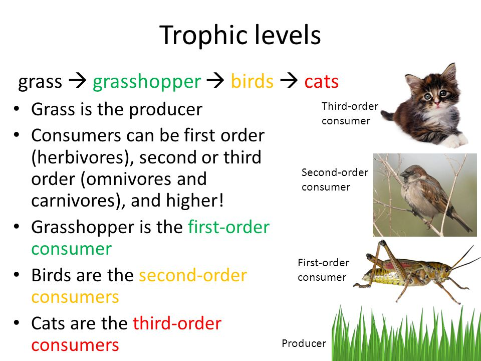 Grass is the producer Consumers can be first order (herbivores), second or third order (omnivores and carnivores), and higher.