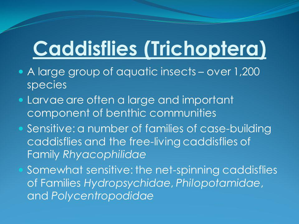 Caddisflies (Trichoptera) A large group of aquatic insects – over 1,200 species Larvae are often a large and important component of benthic communities Sensitive: a number of families of case-building caddisflies and the free-living caddisflies of Family Rhyacophilidae Somewhat sensitive: the net-spinning caddisflies of Families Hydropsychidae, Philopotamidae, and Polycentropodidae