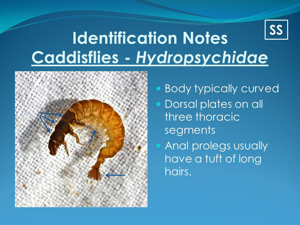 Identification Notes Caddisflies - Hydropsychidae Body typically curved Dorsal plates on all three thoracic segments Anal prolegs usually have a tuft