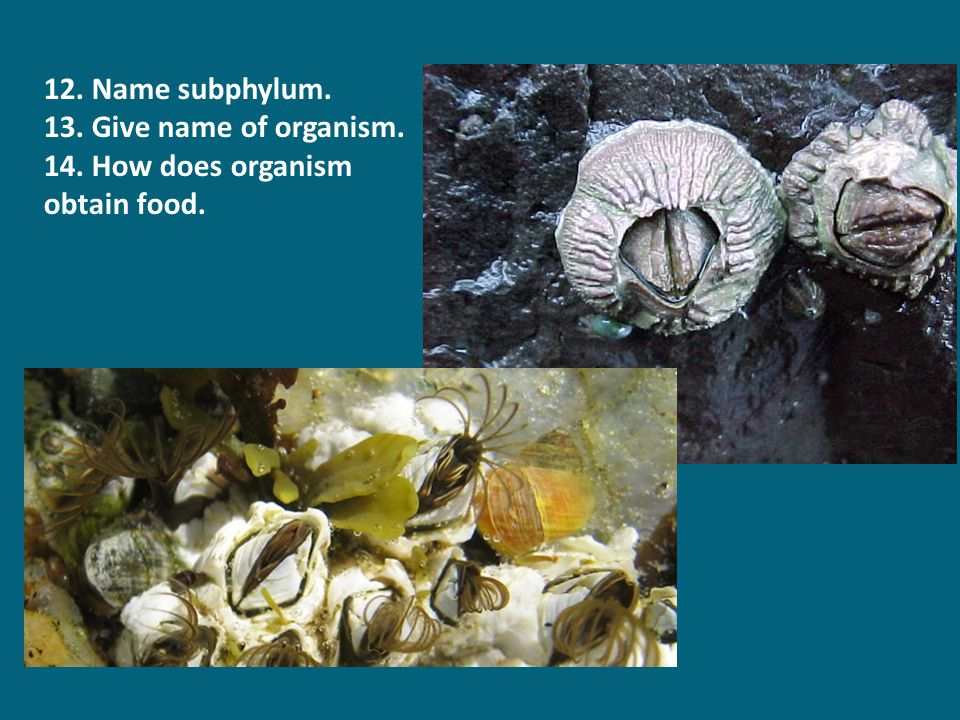 12. Name subphylum. 13. Give name of organism. 14. How does organism obtain food.