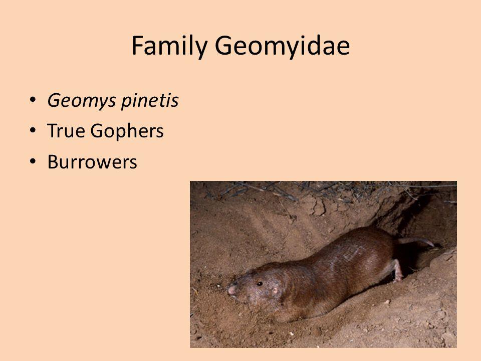 Family Heteromyidae Kangaroo Rats Kangaroo Mice Burrowers