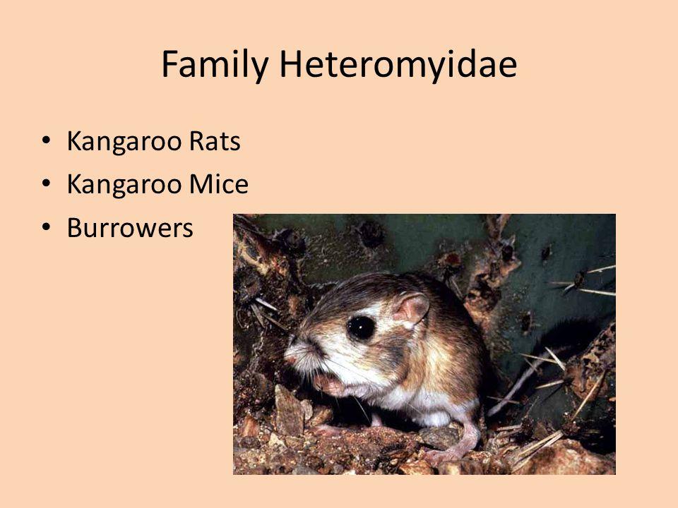 Family Muridae/Arvicolinae Synaptomys australis Neofiber alleni Microtus pinetorum Microtus pennsylvanicus Proheteromys Geomys pinetis Voles, Muskrats, and Lemmings Herbivores