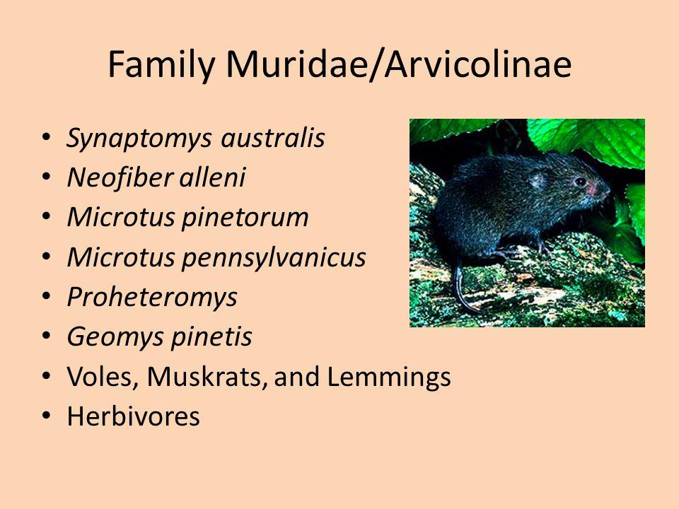 Family Muridae/Sigmodontidae Sigmodon hispidus Reithrodontmys Peromyscus gossypinus Oryzomys palustris Rats and Mice