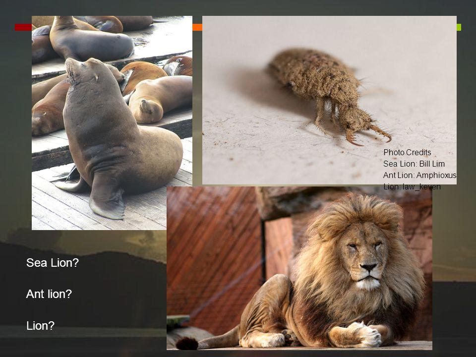 Photo Credits Sea Lion: Bill Lim Ant Lion: Amphioxus Lion: law_keven Sea Lion? Ant lion? Lion?