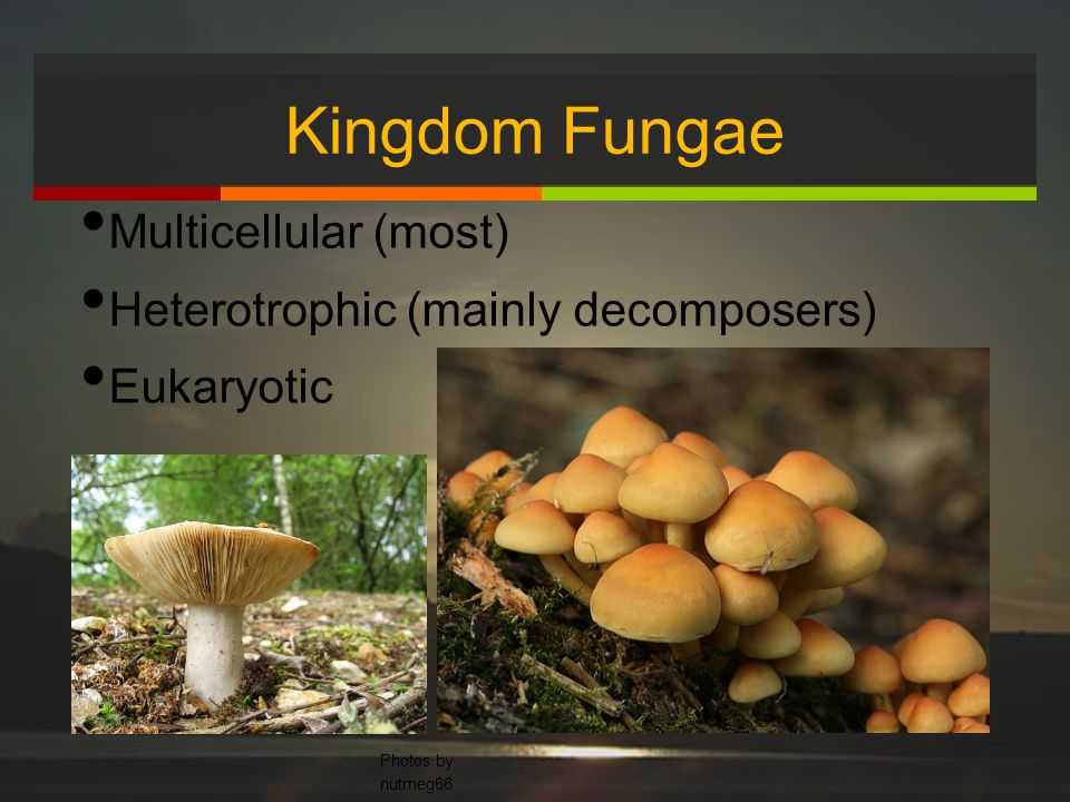 Kingdom Fungae Multicellular (most) Heterotrophic (mainly decomposers) Eukaryotic Photos by nutmeg66