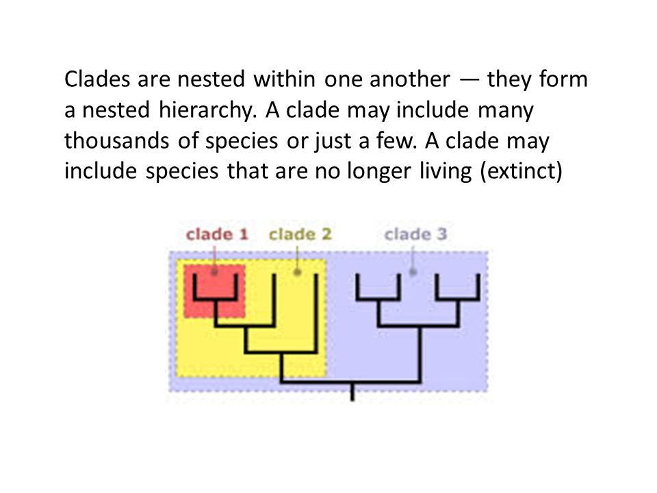 Clades are nested within one another they form a nested hierarchy. A clade may include many thousands of species or just a few. A clade may include sp