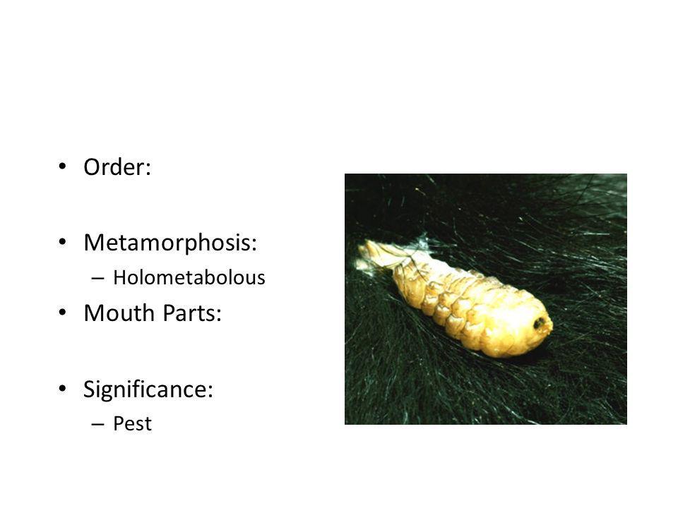 Order: Metamorphosis: – Holometabolous Mouth Parts: Significance: – Pest