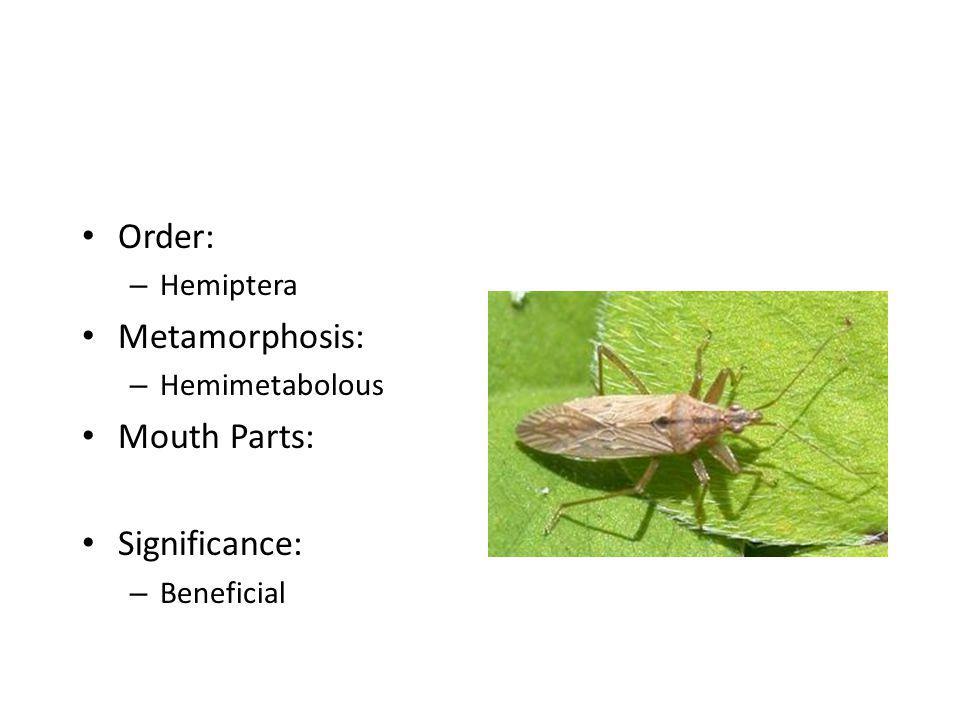 Order: – Hemiptera Metamorphosis: – Hemimetabolous Mouth Parts: Significance: – Beneficial