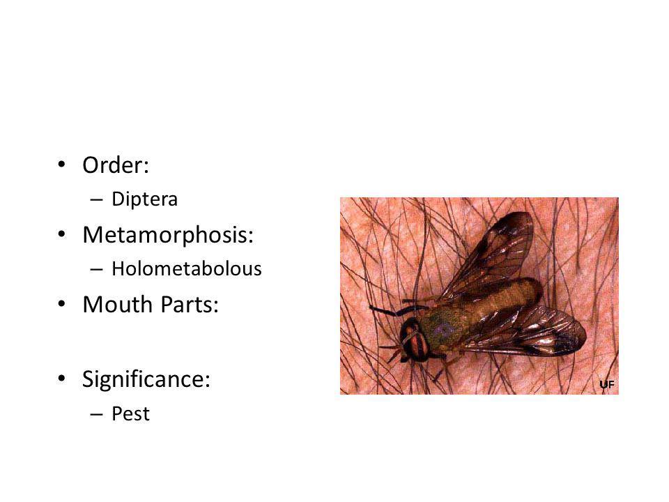 Order: – Diptera Metamorphosis: – Holometabolous Mouth Parts: Significance: – Pest