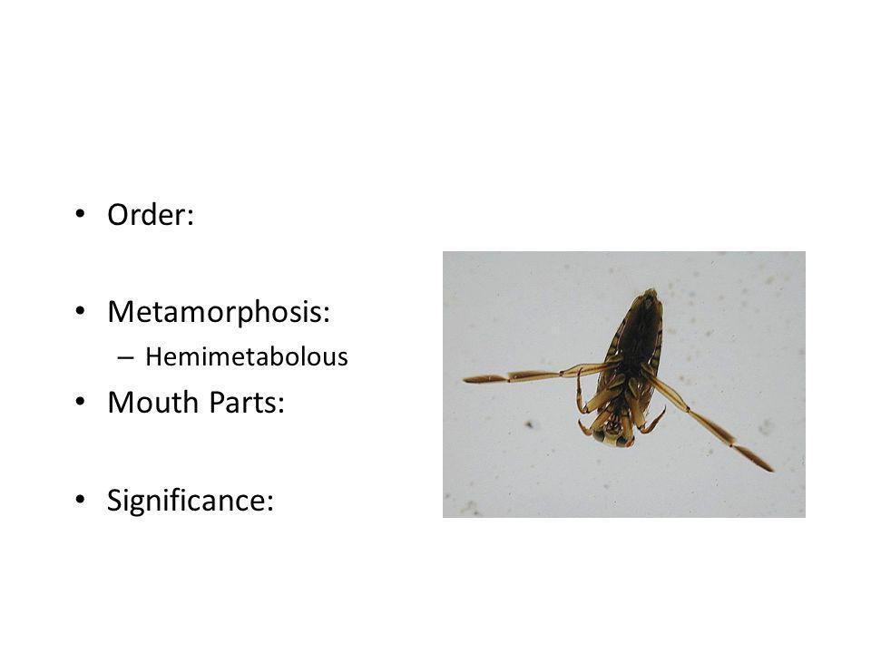 Order: Metamorphosis: – Hemimetabolous Mouth Parts: Significance: