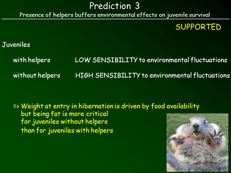 Prediction 3 Presence of helpers buffers environmental effects on juvenile survival SUPPORTED Juveniles with helpers LOW SENSIBILITY to environmental fluctuations without helpers HIGH SENSIBILITY to environmental fluctuations => Weight at entry in hibernation is driven by food availability but being fat is more critical for juveniles without helpers than for juveniles with helpers