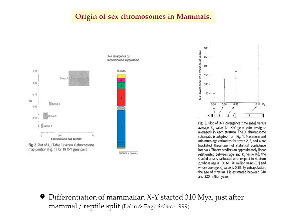 Origin of sex chromosomes in Mammals. Differentiation of mammalian X-Y started 310 Mya, just after mammal / reptile split (Lahn & Page Science 1999)