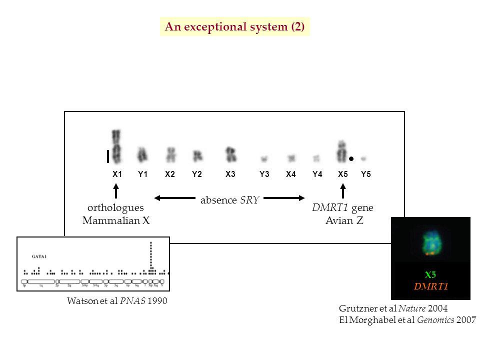 absence SRY X1X4X2Y2Y3X3Y1Y5X5Y4 orthologues Mammalian X Watson et al PNAS 1990 An exceptional system (2) Déterminisme du sexe inconnu Grutzner et al