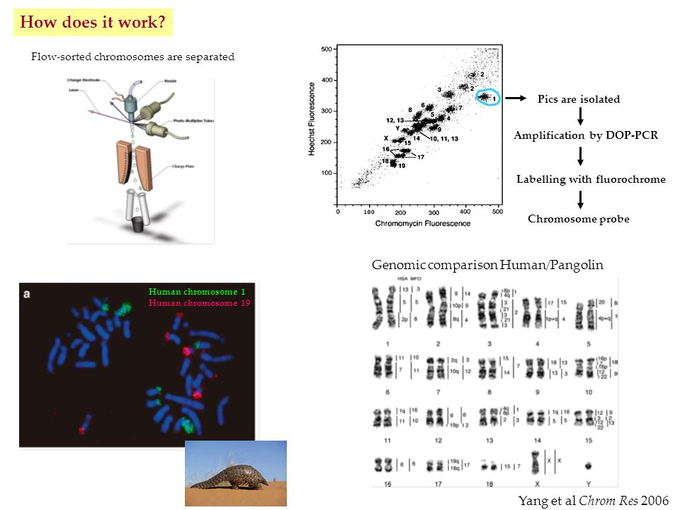 Amplification by DOP-PCR Labelling with fluorochrome Chromosome probe Flow-sorted chromosomes are separated Pics are isolated Human chromosome 1 Human