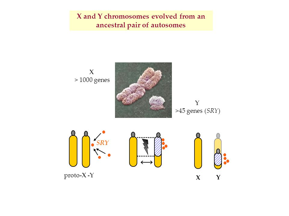 X and Y chromosomes evolved from an ancestral pair of autosomes SRY proto-X -Y X Y X > 1000 genes Y >45 genes (SRY)