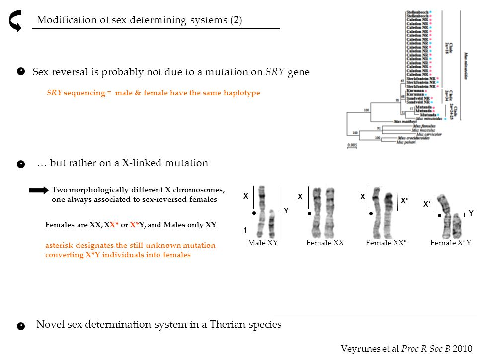 Modification of sex determining systems (2) Novel sex determination system in a Therian species SRY sequencing = male & female have the same haplotype