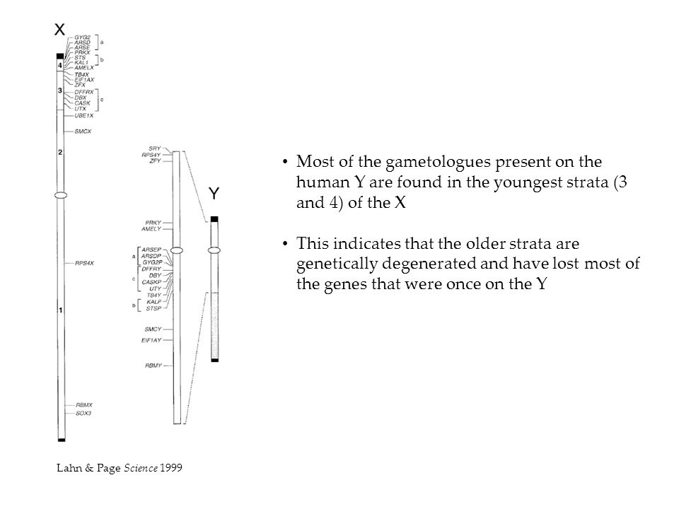 Most of the gametologues present on the human Y are found in the youngest strata (3 and 4) of the X This indicates that the older strata are genetical
