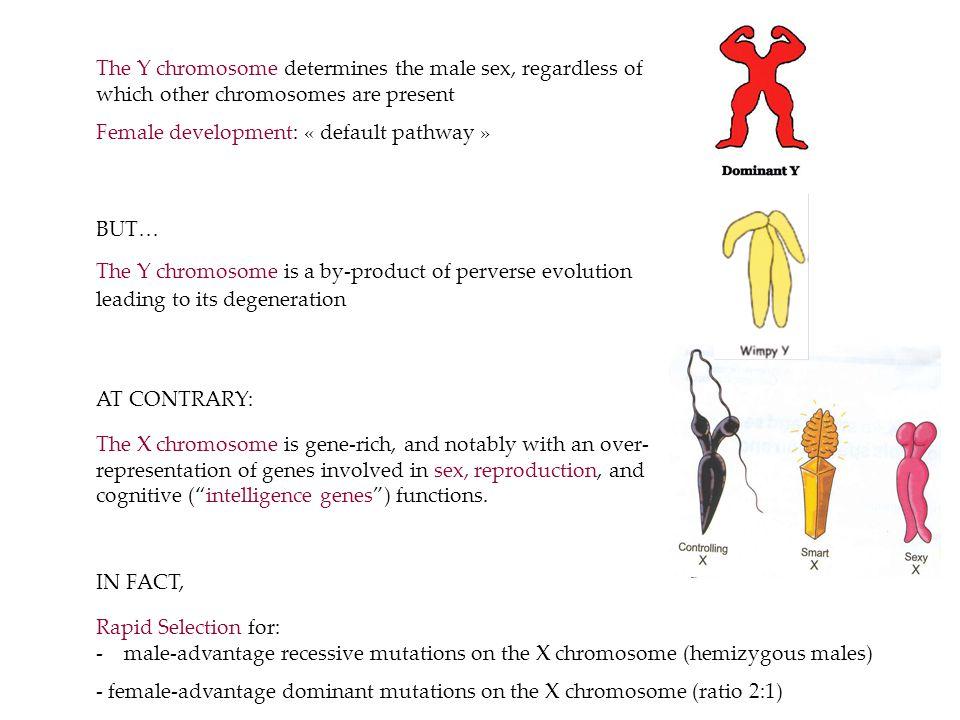 In Vertebrates, sex is determined by many different strategies Environmental Sex Determination Genetic Sex Determination Z W X Y ZZ Male heterogametic: X X Female heterogametic :