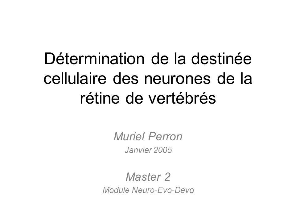 Détermination de la destinée cellulaire des neurones de la rétine de vertébrés Muriel Perron Janvier 2005 Master 2 Module Neuro-Evo-Devo