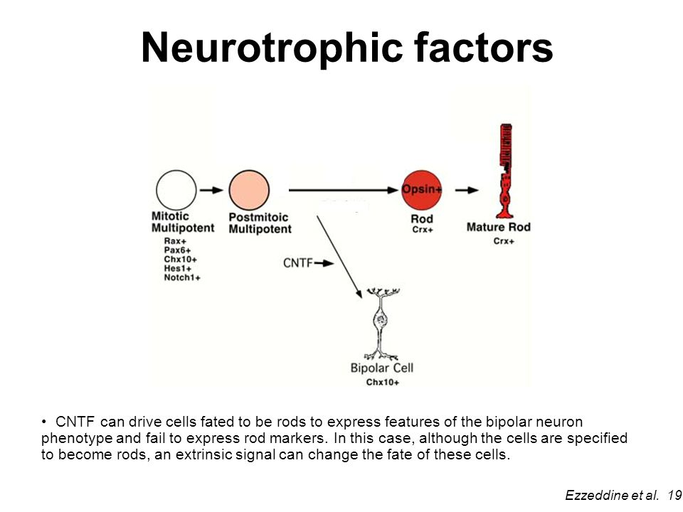 Neurotrophic factors CNTF can drive cells fated to be rods to express features of the bipolar neuron phenotype and fail to express rod markers.