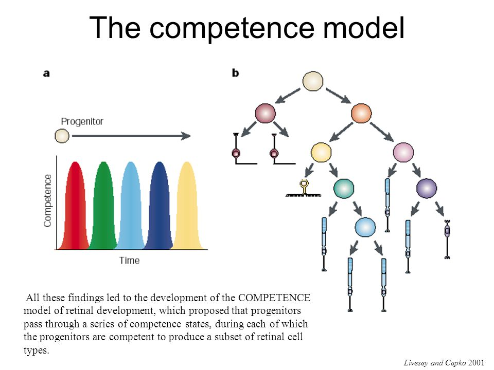 The competence model Livesey and Cepko 2001 All these findings led to the development of the COMPETENCE model of retinal development, which proposed that progenitors pass through a series of competence states, during each of which the progenitors are competent to produce a subset of retinal cell types.