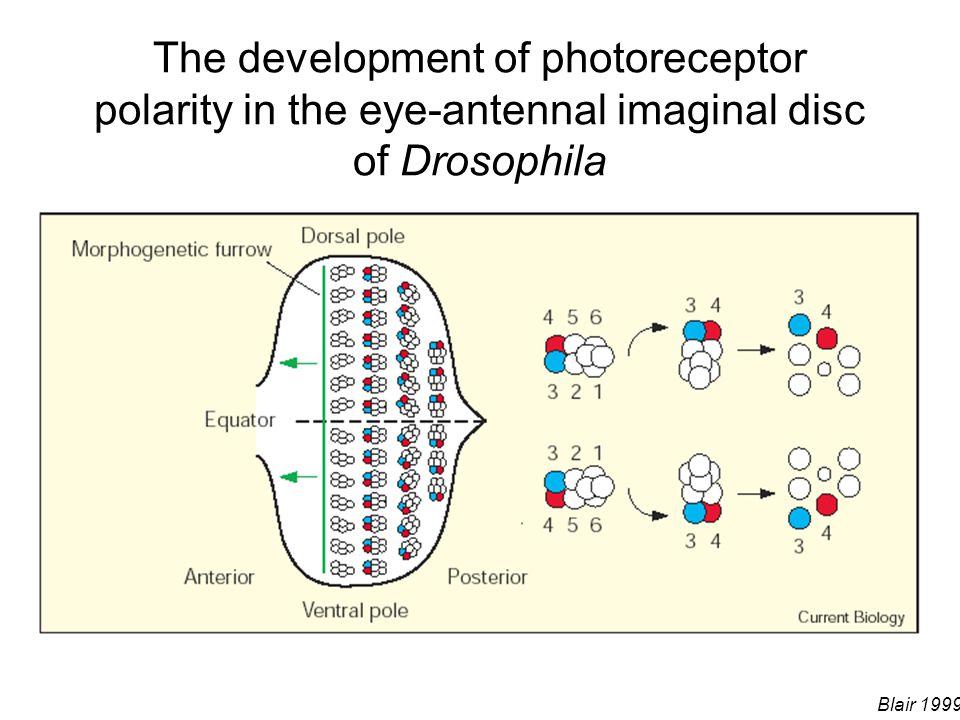 The development of photoreceptor polarity in the eye-antennal imaginal disc of Drosophila Blair 1999