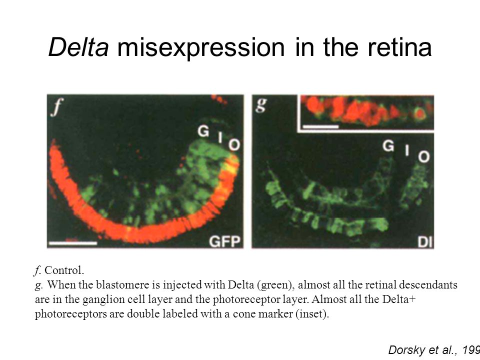 Delta misexpression in the retina f. Control. g. When the blastomere is injected with Delta (green), almost all the retinal descendants are in the gan