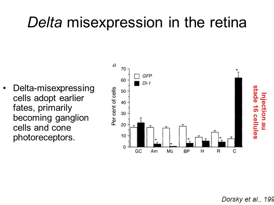 Delta misexpression in the retina Delta-misexpressing cells adopt earlier fates, primarily becoming ganglion cells and cone photoreceptors.