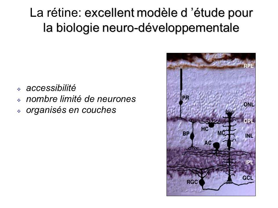 excellent modèle d étude pour la biologie neuro-développementale La rétine: excellent modèle d étude pour la biologie neuro-développementale accessibilité nombre limité de neurones organisés en couches