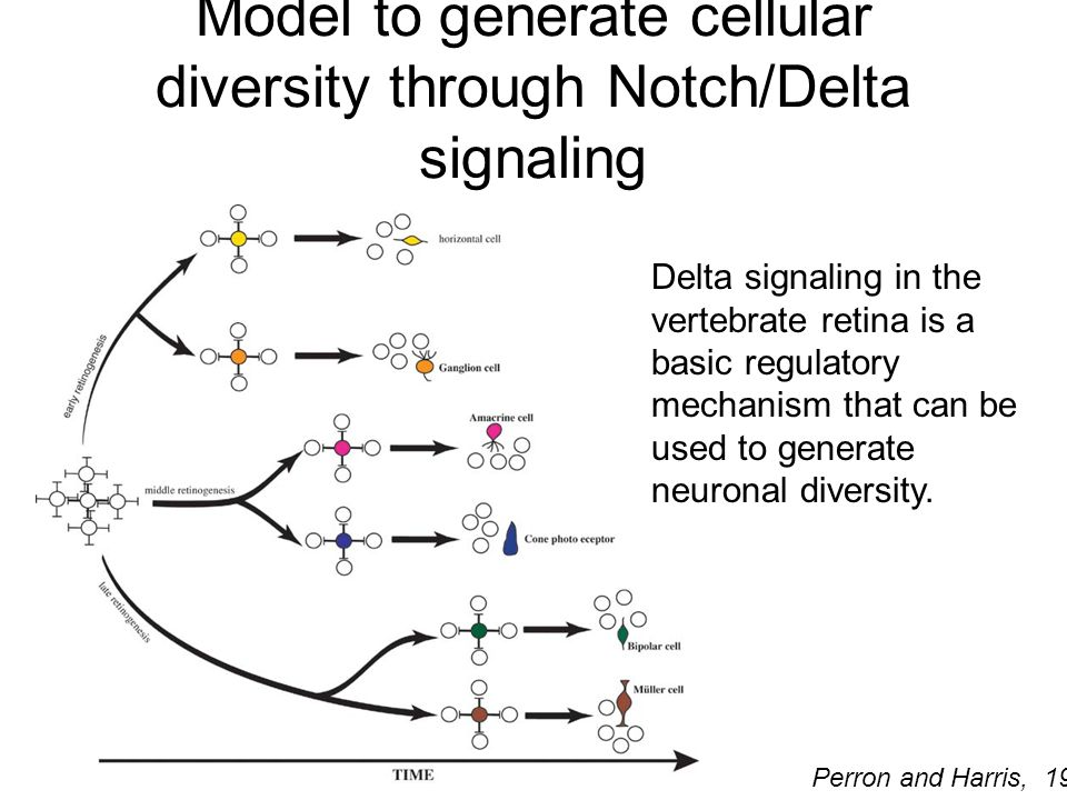 Model to generate cellular diversity through Notch/Delta signaling Delta signaling in the vertebrate retina is a basic regulatory mechanism that can be used to generate neuronal diversity.