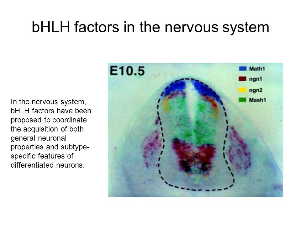 bHLH factors in the nervous system In the nervous system, bHLH factors have been proposed to coordinate the acquisition of both general neuronal properties and subtype- specific features of differentiated neurons.
